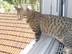 Azur, chat Européen