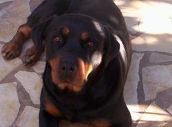 Azzaro, chien Rottweiler