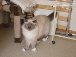 Azzaro, chat Birman