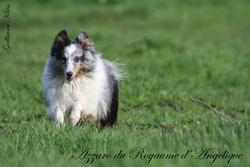 Azzaro Du Royaume D'angélique, chien Berger des Shetland