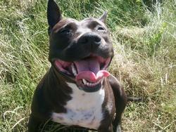 B'Kiara, chien American Staffordshire Terrier