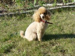 B'Tessy Du Domaine De La Colline , chien Caniche