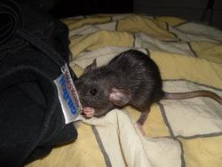 Mina Elisabeta, rongeur Rat