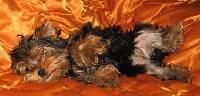Babylou, chien Yorkshire Terrier