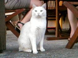 Feu-Vert, chat Angora turc
