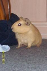 Paco, rongeur Cochon d'Inde