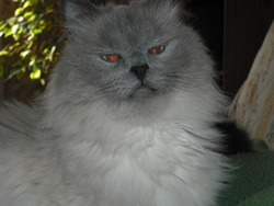 Clarence, chat Birman