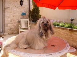 Brahms, chien Lhassa Apso