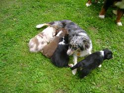 Zirra, chien Berger australien