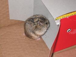 Calinou, rongeur Hamster