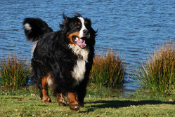 Ubert, chien Bouvier bernois