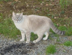 Topaze, chat Siamois