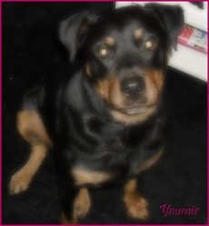 Youmie, chien Rottweiler