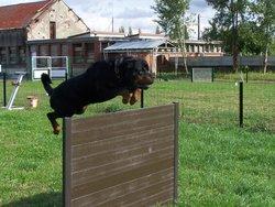 Dratar Von Schloss Hexental, chien Rottweiler