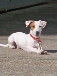 Sky, chien Jack Russell Terrier
