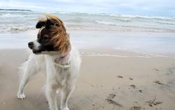 Rubis, chien Épagneul nain continental