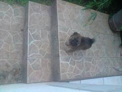 Chouchou, chien Chow-Chow
