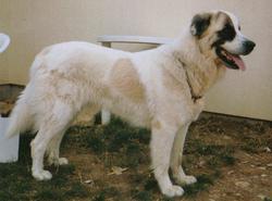 Leila, chien Chien de montagne des Pyrénées