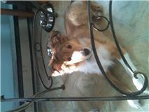 Elfie, chien Colley à poil long