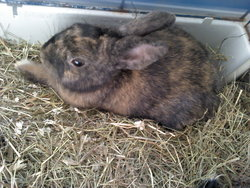 Double Face, rongeur Lapin