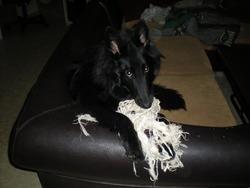 Freyia, chien Berger belge