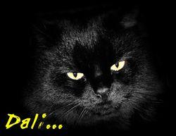Dali, chat Siamois