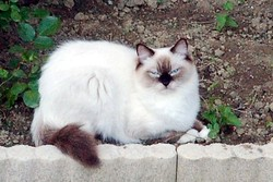 Tennessee, chat Ragdoll
