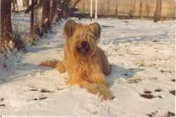Dune Des étoiles, chien Berger de Brie