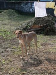 Kanel, chien Sloughi