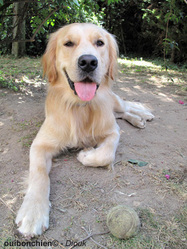 Diouk, chien Golden Retriever