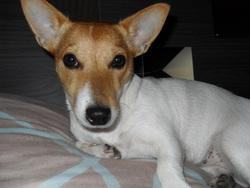 Feline, chien Jack Russell Terrier