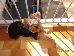 Tweenee, chien Yorkshire Terrier