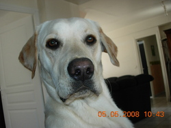 Cap'tain, chien Labrador Retriever