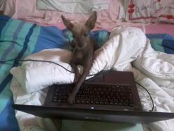 Elliot, chien Chien nu du Pérou