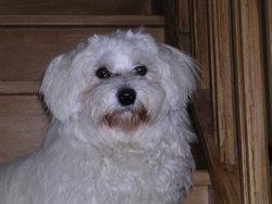Fendy, chien Bichon maltais