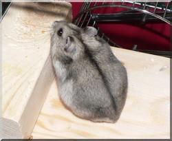 Mikado, rongeur Hamster
