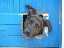 Koinzell, chien Berger allemand
