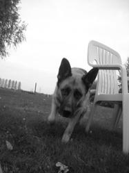 Urba, chien Berger allemand