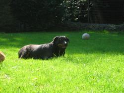 Zara, chien Rottweiler