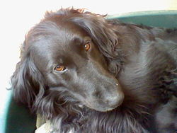 Vénus, chien Labrador Retriever