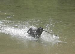 Volt, chien Labrador Retriever