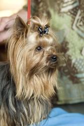 Victorio De La Vallée Du Toulourenc, chien Yorkshire Terrier