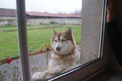 Esquimot, chien Husky sibérien
