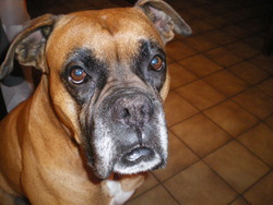 Hugo, chien Boxer