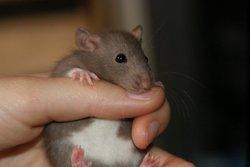 Boog, rongeur Rat