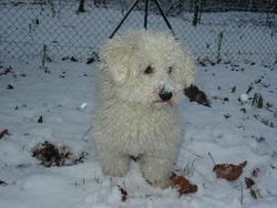 Tomy, chien Bichon à poil frisé