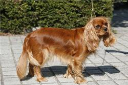 Candy Love, chien Cavalier King Charles Spaniel