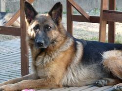 Hailey, chien Berger allemand