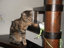 Fiby, chat Européen