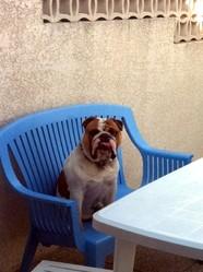 Douglas, chien Bulldog